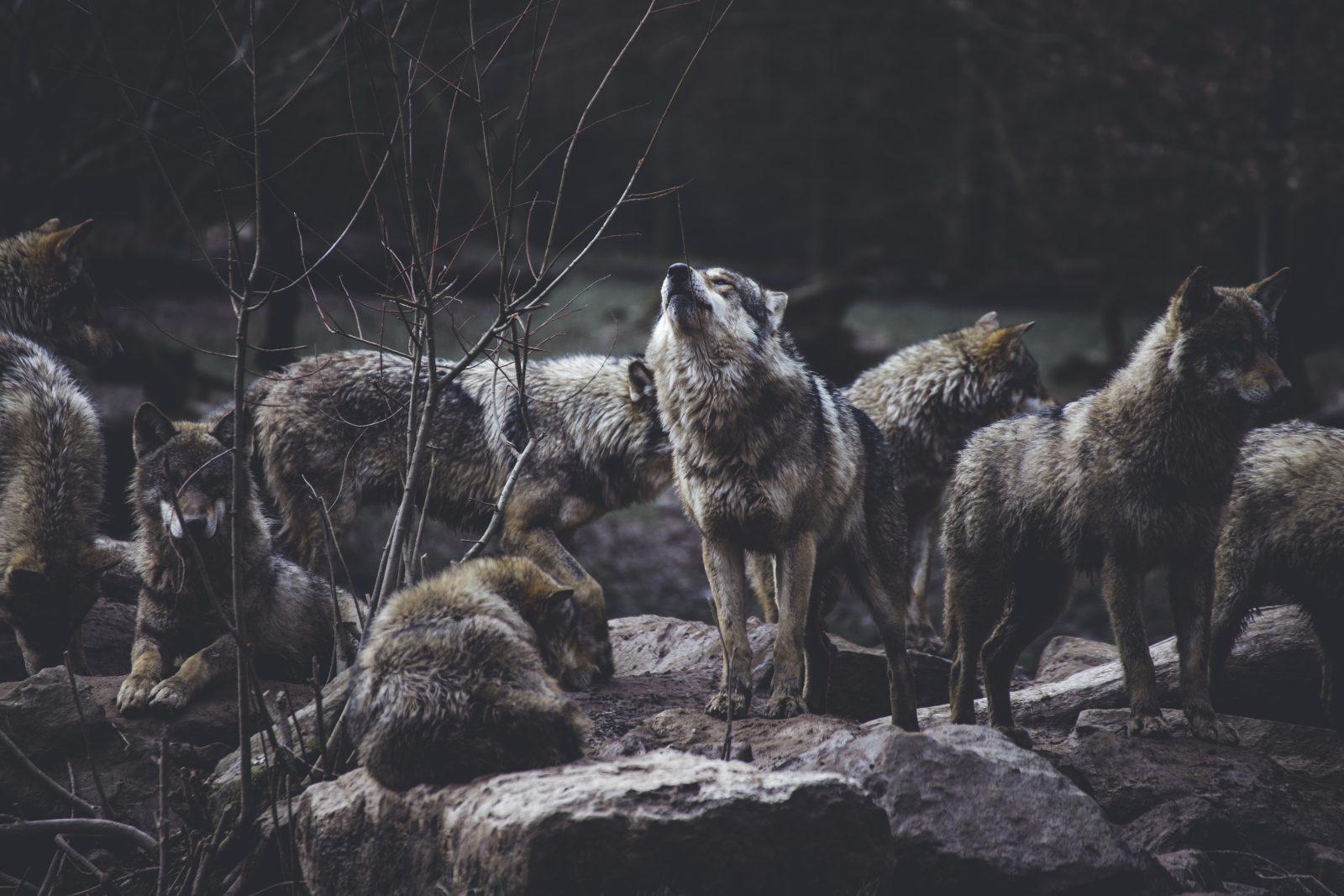 Posyłam was jako jagnięta między wilki